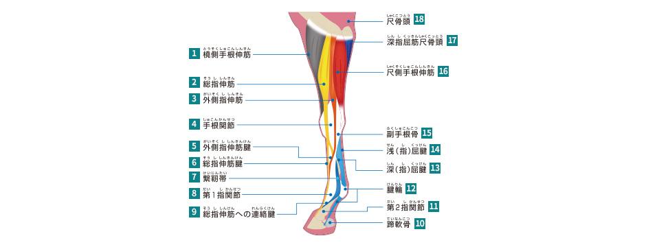 前肢・後肢の筋肉と腱(競走馬・...